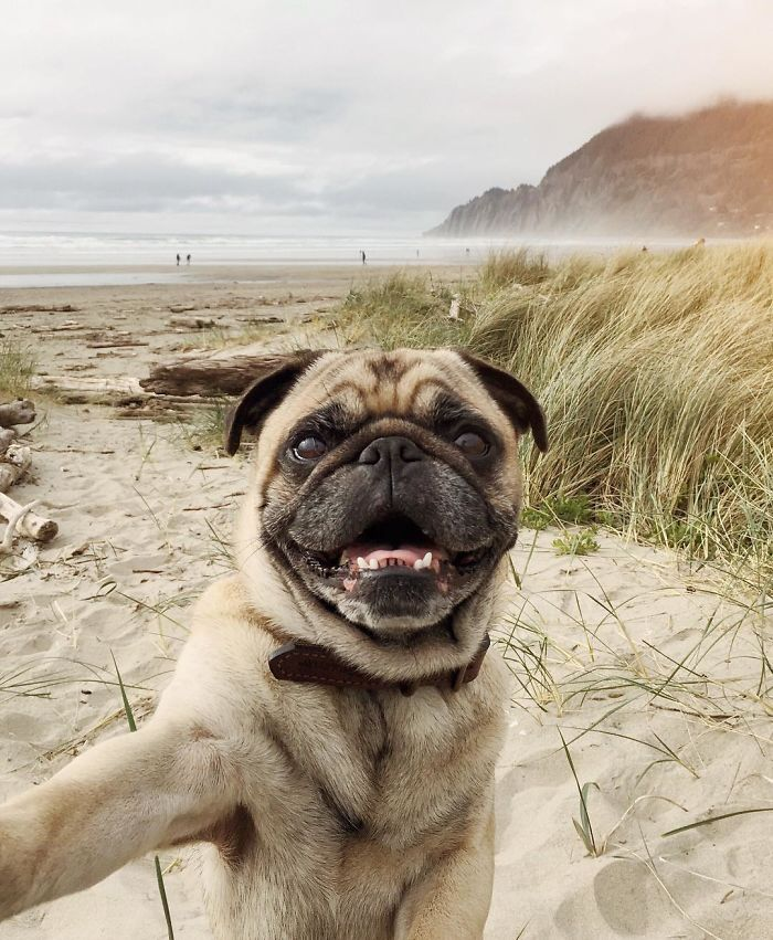 Norm the pug on his travels