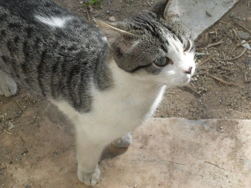 gato cinzento e branco