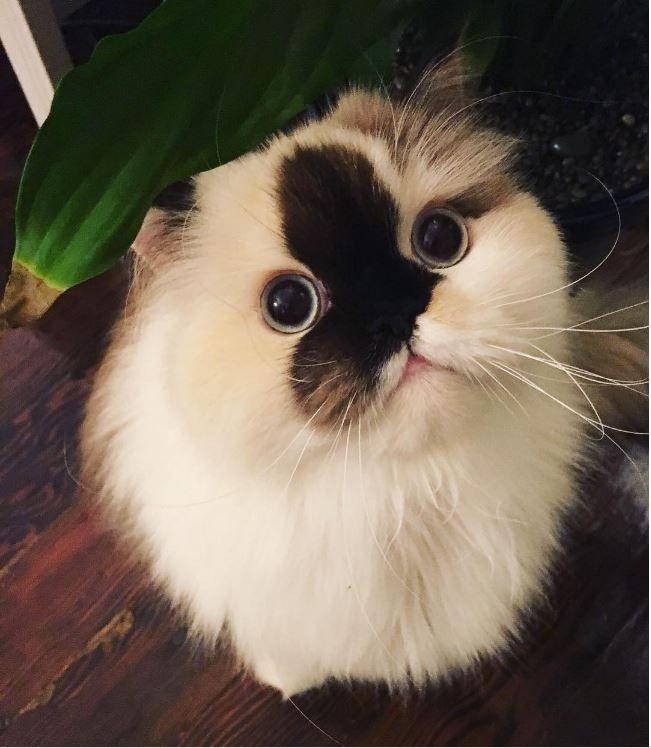 les 25 meilleures id es de la cat gorie chat himalayen sur pinterest chats persans chats et. Black Bedroom Furniture Sets. Home Design Ideas