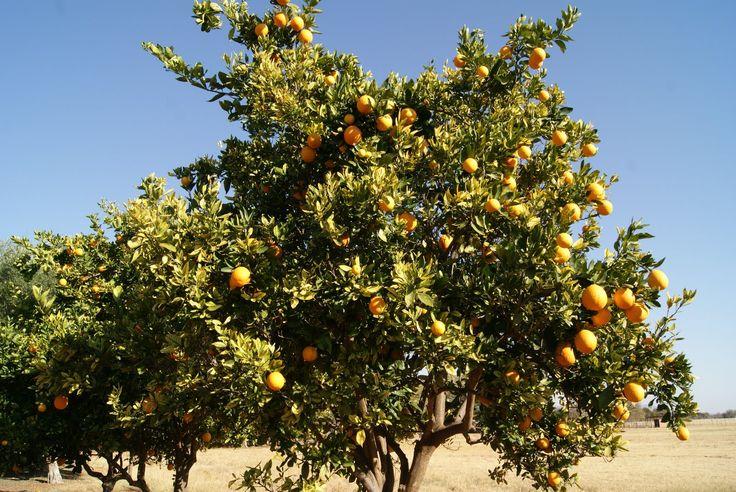 Sclerocary Birrea    fruit      Marula          Amaroela       S A no 360