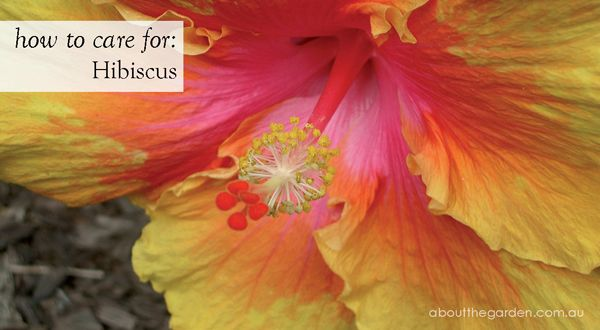 how to care for hibiscus #garden #flower #aboutthegarden
