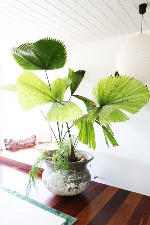 Fiji Palm - Shade tolerant and doesn't take a lot of water. It does love warmer temperatures, so make sure it's not near anyplace that gets drafts. It's a beautiful, fan-like tree that will add a little bit of tropical flare to your room.