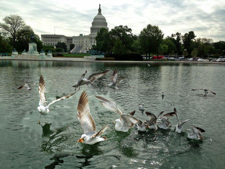 Burung-burung camar berebut makanan di sebuah kolam di depan gedung Capitol di Washington, DC.