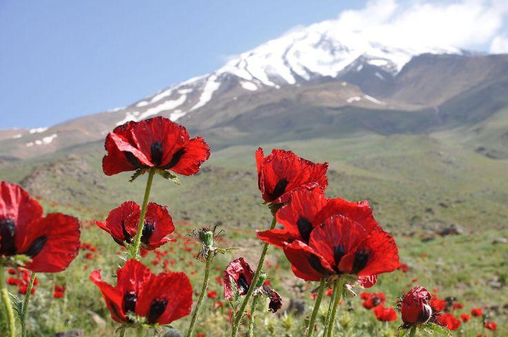 Wild poppy flowers on the slopes of Mount Damavand