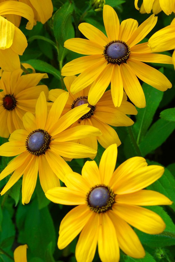I love sunflowers and daisies :-) So black eyed susans fit the bill perfectly :-) .