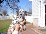 They make miniature dalmatians now!!!