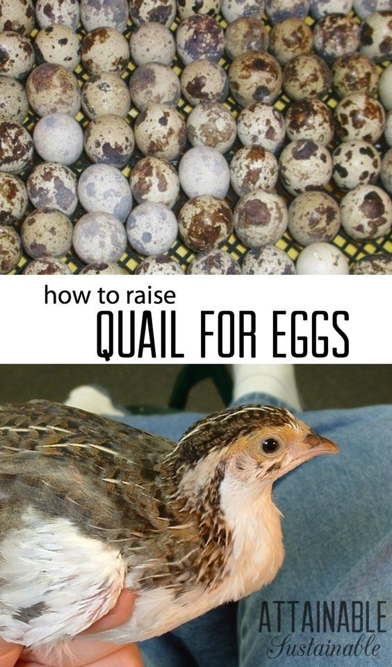Homeowner Association regulations, city ordinances, or quite simply a lack of space confounds many who would like to gather fresh eggs daily. Quail just might be the solution! They're easy and can be raised in small spaces.