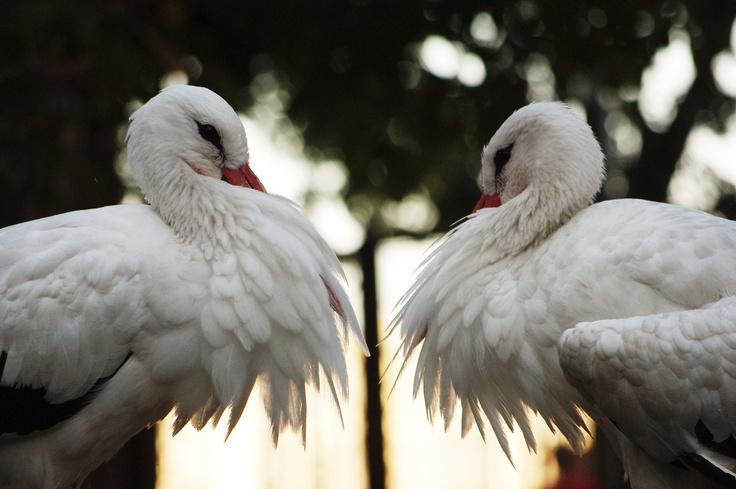 Storks, Margit-sziget, Budapest