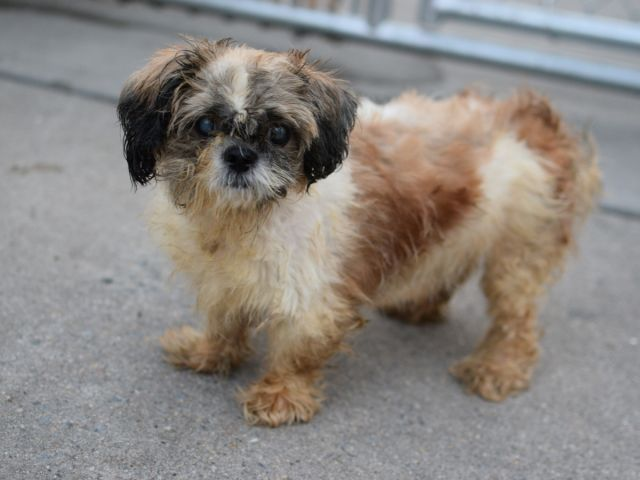 SAFE 8-21-2015 by Anarchy Animal Rescue --- SUPER URGENT Brooklyn Center MELLY – A1048100 FEMALE, WHITE / TAN, SHIH TZU MIX, 15 yrs STRAY – STRAY WAIT, NO HOLD Reason STRAY Intake condition EXAM REQ Intake Date 08/16/2015