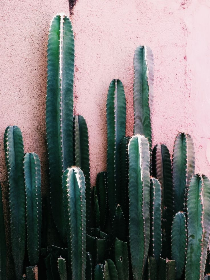 cacti against pink wall