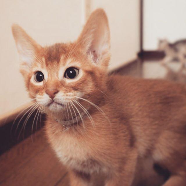 キャッテリーから #ペチュケ #pötschke#potschke #愛猫 #にゃん #ねこ #cat #猫 #ネコ#catstagram #mycat #ilovecat#𓃠#catstagram#Abyssinian#abyssinian #abyssinian_red#kittycat #neko#ねこ部#猫と暮らす#ねこすたぐたむ#ネコスタグラム#necostagram#にゃこ#にゃんすた#Ilikecats#ailurophile