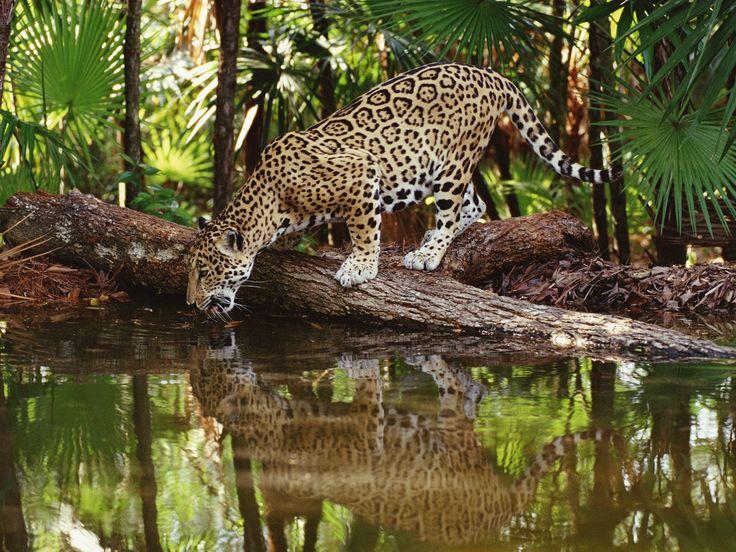 Jaguar - Amazonia - Brasil