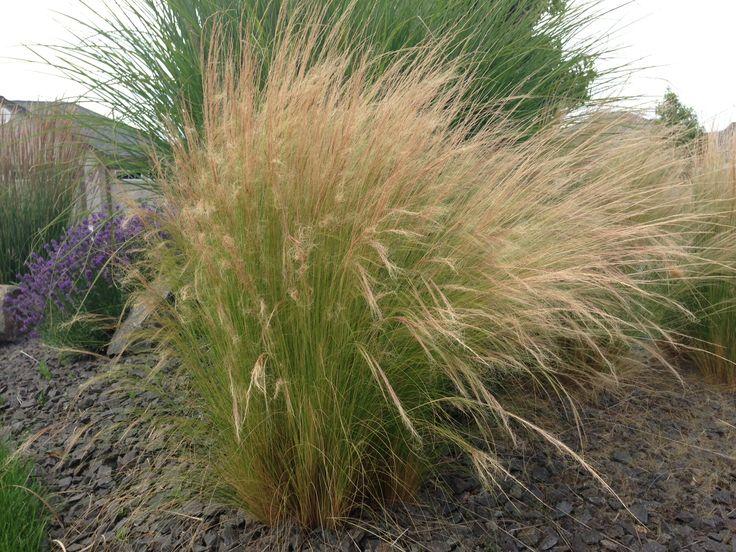 122 best for my garden images on pinterest for Perennial ornamental grasses