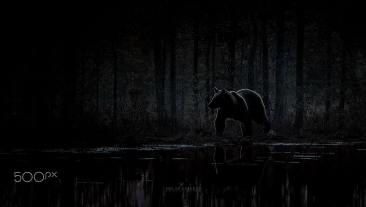 "The bear - Image taken in Kuhmo,Finland.Feel free to check my  <a href=""http://on.fb.me/1QRPKqq"">Facebook</a>"