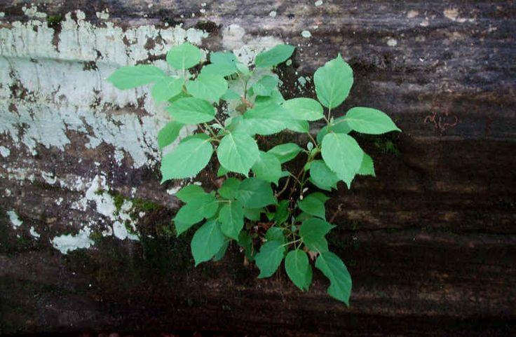 Hydrangea arborescens Wild Hydrangea Seed and Plants