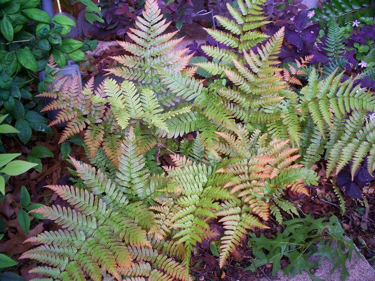 Autumn Fern, 1 Gal Pot
