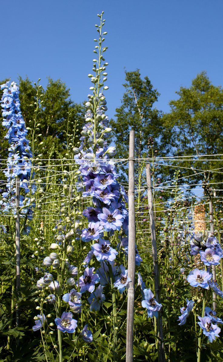Delphiniums, jardin de Quatre-vents, la Malbaie, Qc.  Tous droits réservés. Photo: Émilie Lapierre Pintal, 2015.