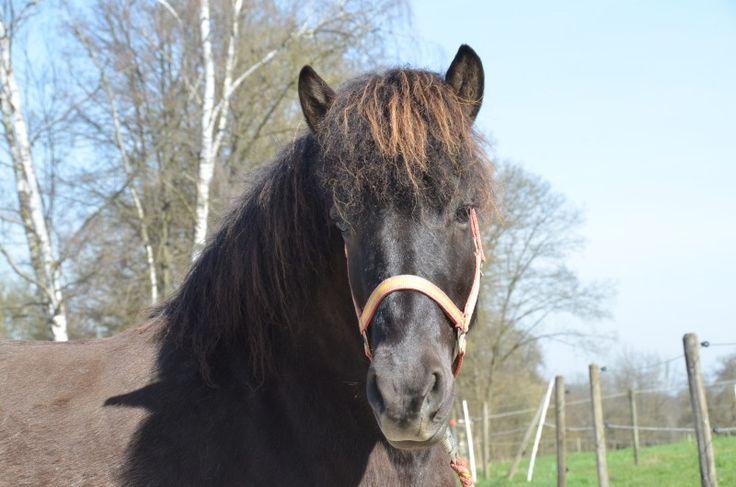 Islandpferde-Verkauf » Lóa vom Burrishof - Burrishof Islandpferde- und Fjordpferde-Gestüt