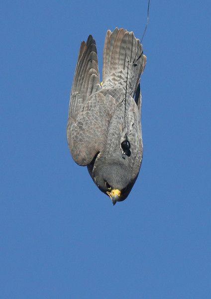 Falco Pellegrino (Falco peregrinus) in piacchiata