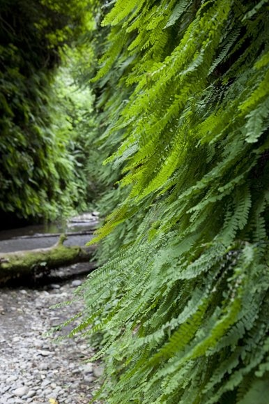 Fern Canyon, north of Patrick's Point State Park - Trinidad, CA