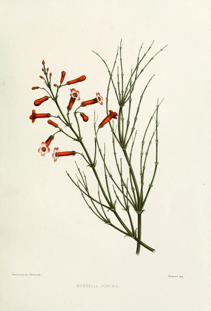 Russelia equisetiformis   planta pendente, com ramos longos que despontam da primavera ao outono e podem ter coloração vermelha, amarela ou branca. No paisagismo, costuma ser empregada em renques ou maciços sobre pequenos morros e declives. Também é apropriada para vasos, floreiras e cestas suspensas. Deve ser cultivada sob sol pleno ou meia-sombra, em solo fértil, bem drenável, rico em húmus e irrigado regularmente.