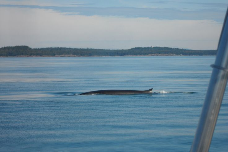 Whale watching, Bay of Fundy, NB
