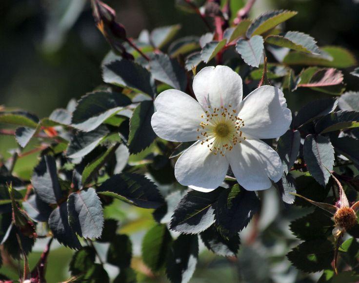 Rosa 'Louis Riel'. Framtagen i Kanada. Blommar med enkla ljust rosa blommor, som bleknar till vitt. 1,5 m hög, 1, 2 m bred. Taggiga grenar. Zon IV.