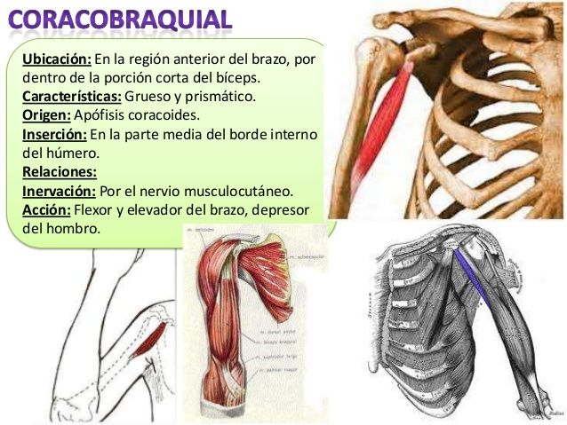 16 best Músculos del miembro superior images on Pinterest | El ...