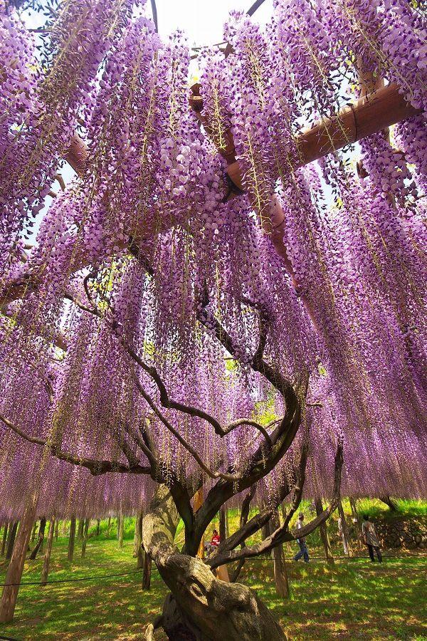 Kawachi Wisteria Garden, Kitakyushu, Fukuoka, Japan