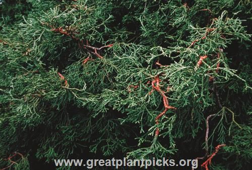 Chamaecyparis obtusa 'Coralliformis'   Wholesale Nursery Supplies & Plant growers in Oregon   Nursery Guide
