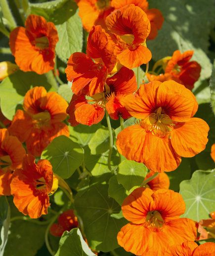 Nasturtium: It repels whiteflies, squash bugs, aphids, several beetles, and cabbage loopers. This one will help other plants in your garden, too.