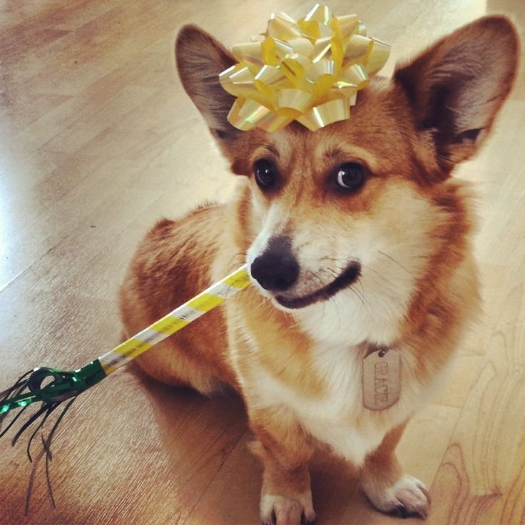 95 best images about Corgis in Party Hats! on Pinterest ...