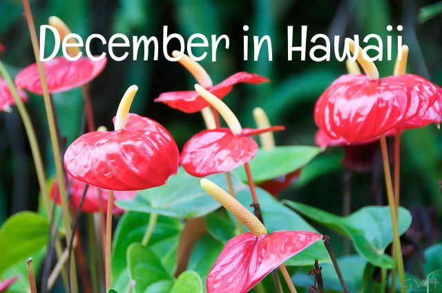 When considering a vacation to Hawaii for the month of December, choosing when to go greatly impacts both costs and crowds. The first few weeks are very quiet and relatively inexpensive, while the last week -- including Christmas and New Year's Eve holidays -- is a popular and expensive time. In...
