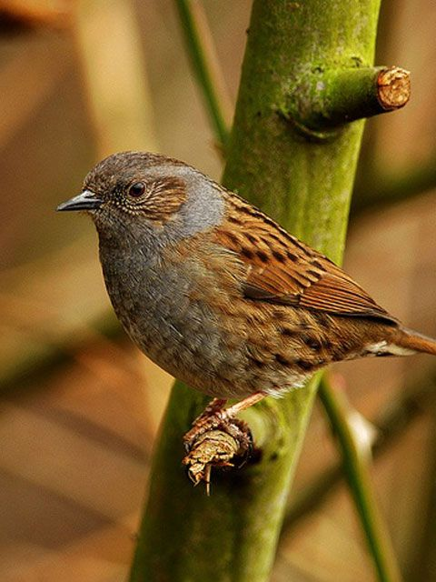 Dunnock - looks similar to a Sparrow, but they are solitary little birds and you will see them bobbing about the garden on their own. Whereas Sparrows like to be in a flock.