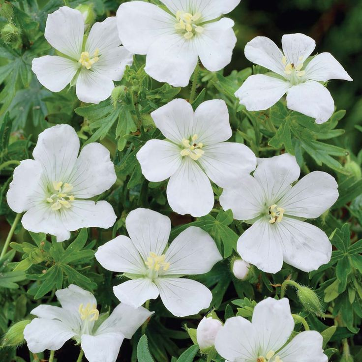 "Hardy Geranium phaeum Album - Single Flowering Hardy Geraniums - The Vernon Geranium Nursery : Small fluffy white blooms makes this a pretty one in the borders. Hardy Geraniums are perfect for bedding in the borders as they come back with colour year after year! They naturally spread so once you have had them in the garden for a couple of years you can divide them up and have even more plants! Height: 60cm (24""). Spread: 20cm (8"")."