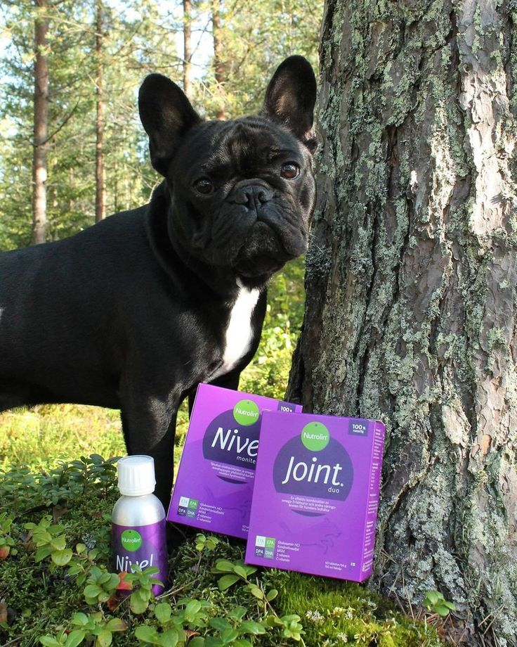 Nutrolin Joint Duo is an unique dual component product that restores the mobility of the joints and brings back the joy of exercise. Simon the frencie is a happy user 💜 #nutrolinlife #nutrolindogs #doghealth #frenchie #avainlipputuote #madeinfinland
