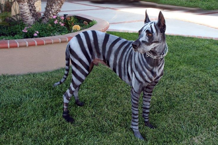 21 Great Danes with better costumes than you. - Treats Happen ...