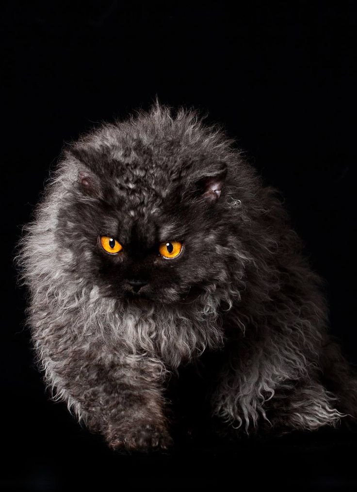 "SELKIRK REX LONGHAIR: One of the newest natural breeds, originating from a housecat found in a shelter. Unlike the Devon Rex and Cornish Rex, the  mutation is dominant. Selkirk Rex was a ""discovered"" breed developed by outcrossing with American Shorthairs, Persians, Himalayans, Exotic & British Shorthairs. 