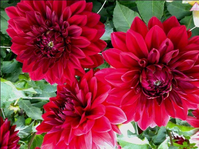 Dahlia Hy Sockeye Flower Arrangements Sockeye