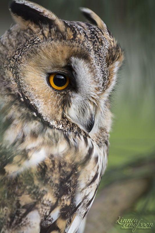 Long-eared Owl by Linnéa Ernofsson
