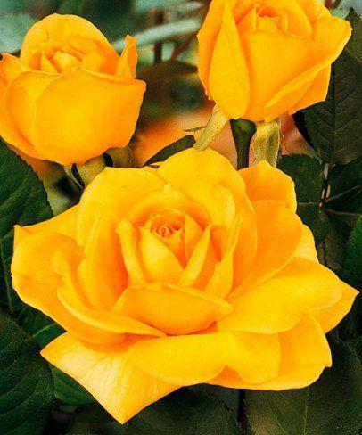 Růže ´Anni Däneke´ -  - velkokvětá a voňavá. Rosa. Jedna z nejkrásnějších žlutých růží! Překrásné žluté květy. Hodnotná růže k řezu, s výraznou vůní. Výška: asi 80 cm.