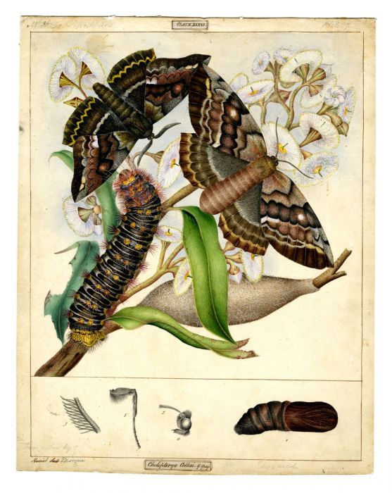White-stemmed Gum Moth