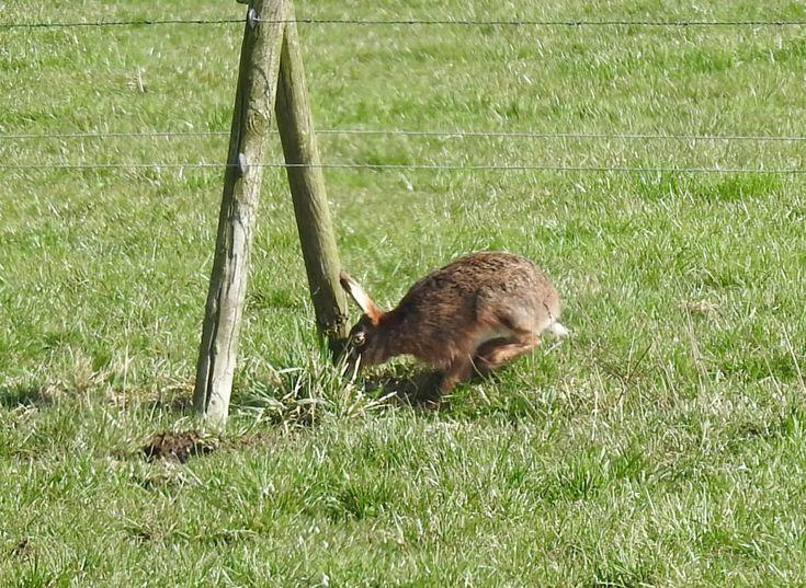 Haas verlaat het weiland - Zoogdieren (bever, vos, muis) - Haas
