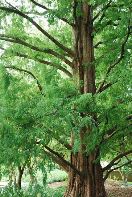 The dawn redwood (Metasequoia glyptostroboides) was thought to be extinct, known only through fossils, until the 1940s when live specimens were found growing in China. This towering dawn redwood can be found at the Missouri Botanical Garden.