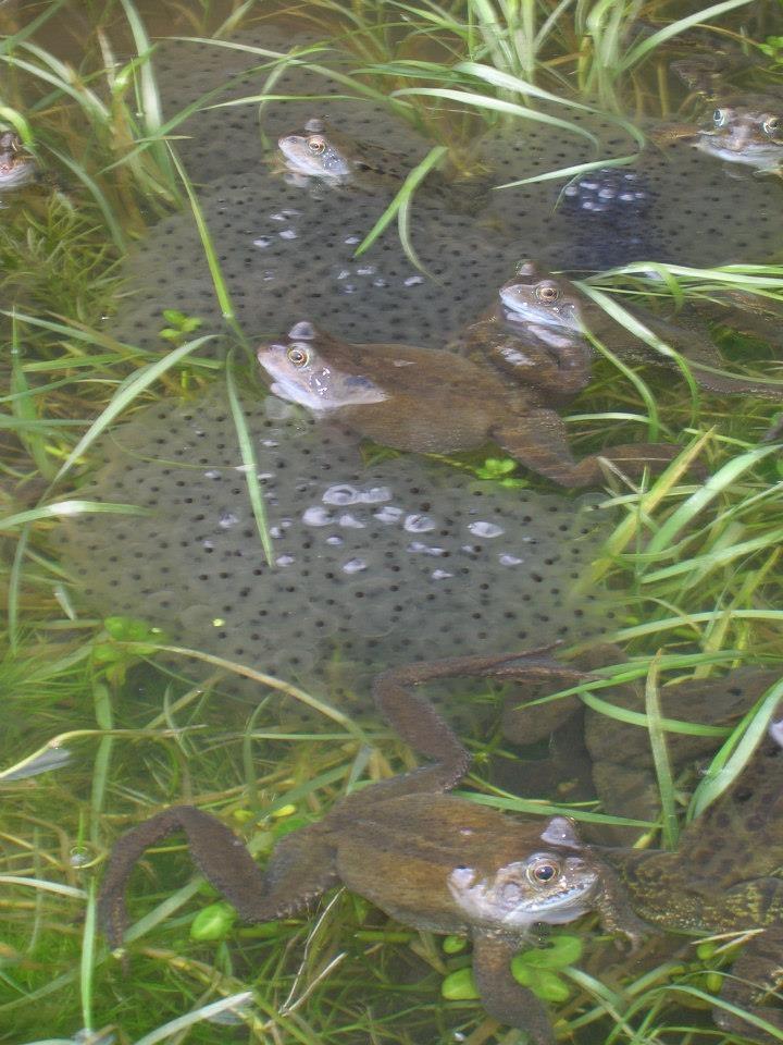 Pond full of hopefully, happy frogs.