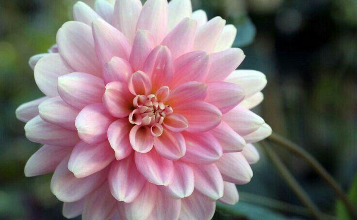 Pin By Mona Moni On Dahlia Autumn Flowering Plants Flowers Australia Fall Flowers