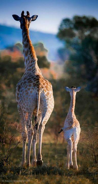 Giraffe butt!
