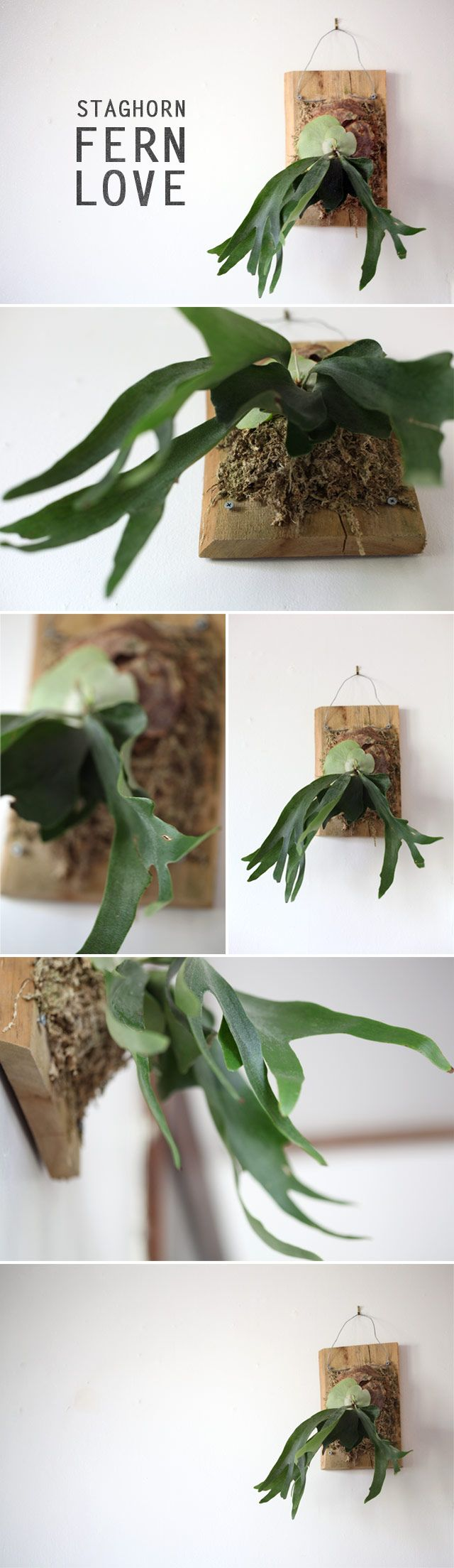 Staghorn Ferns    (I was totally mentioned in this blog! haha)