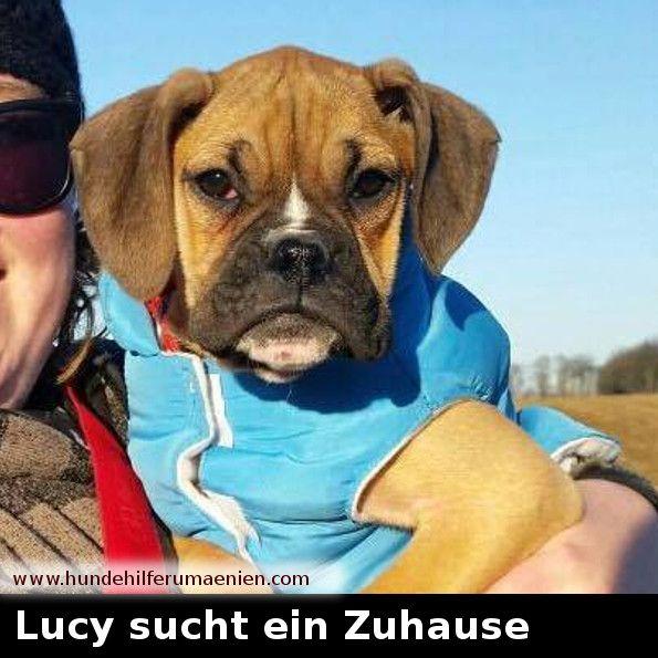 """️ Lucy sucht ein Zuhause  Diese kleine Maus ist ein """"Kofferraumhund"""", blieb nur 2 Tage bei ihrem Käufer und war dann überflüssig ! Sie hat von ihrer Mama (Gebährmaschine) kaum was abbekommen. Sie ist ganz zart und winzig, und möchte ein eigenes liebe- und verständnisvolles Zuhause !!! Sie is quirlig und lustig, verträglich mit Hunden und liebt boxertypisch Kinder... Sie hört bereits gut auf ihren Namen und kommt beim Freilauf vorbildlich zurück. Sie i"""
