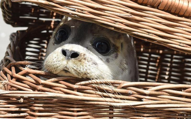Молодой тюлень на острове Юист, Германия